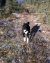 One of my Karelian Bear Dogs, Yamantaka HTR enjoys his morning run through the caribou lichen.